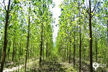 اختصاص 27 هکتار از اراضی شهرستان ری به کاشت درخت صنوبر