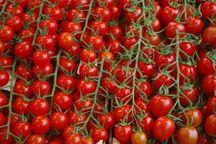 تولید گوجه فرنگی در جوین افزایش یافت