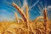 آغاز خرید تضمینی گندم در خراسان رضوی