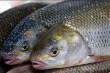 کشف و معدوم سازی 12 تن ماهی قزل آلای فاسد در مراغه
