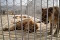 واکنش محیط زیست فارس به رفتار خشونت آمیز با یک قلاده شیر